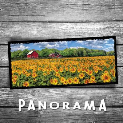 Field of Sunflowers Panorama Postcard