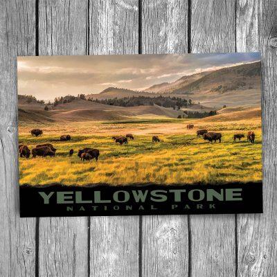Yellowstone National Park Bison Lamar Valley Postcard