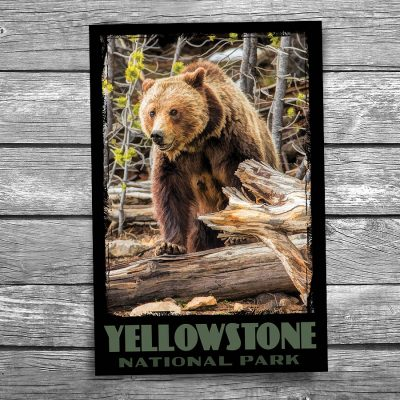 Yellowstone National Park Grizzly Bear Postcard