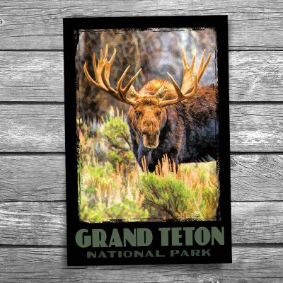 Grand Teton National Park Moose Postcard