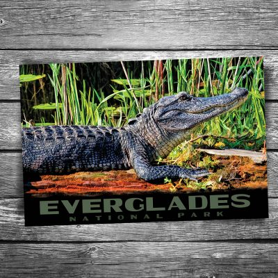 Everglades National Park Alligator Postcard