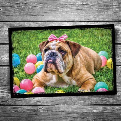 Bulldog Bow Postcard