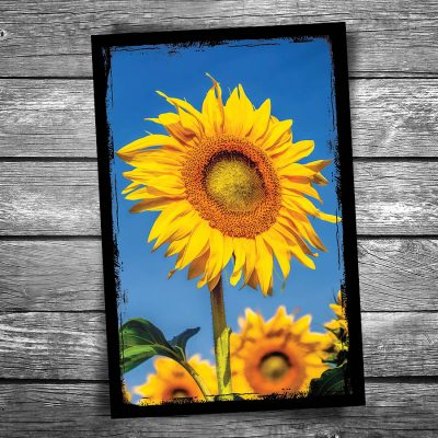 Sunflower Postcard