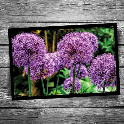 Allium Postcard